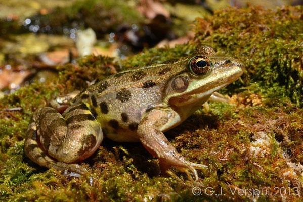 Albanian Pool Frog - Pelophylax shqipericus
