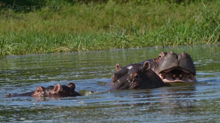 Hippo's - Hippopotamus amphibius