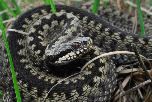 Vipera berus, Drenthe, The Netherlands, May 2007