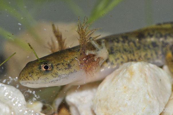 Sharp-ribbed Newt - Pleurodeles waltl larvae