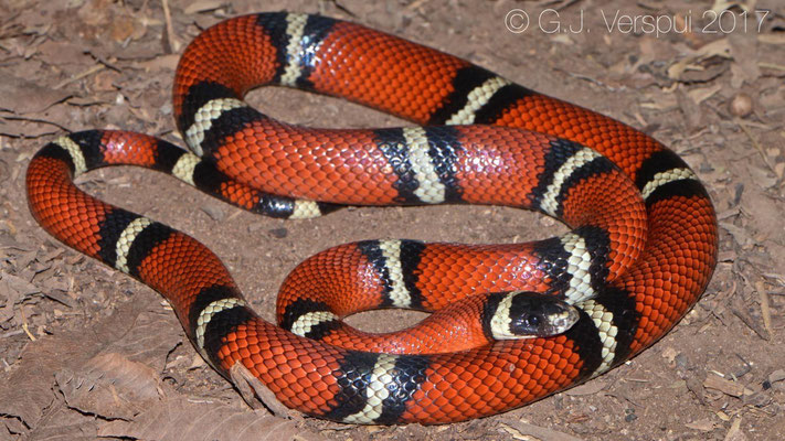 Lampropeltis polyzona