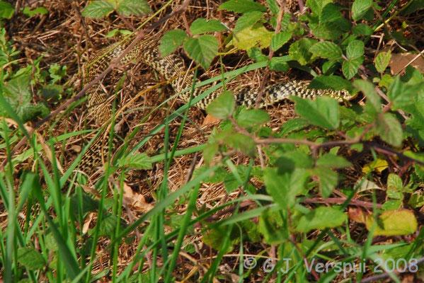 Western Whip Snake - Hierophis viridiflavus    In Situ