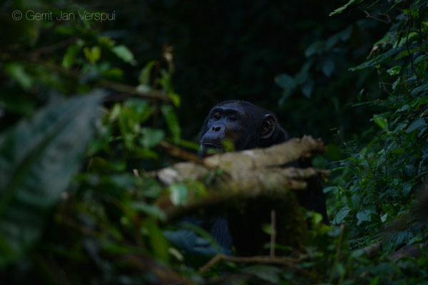 """Guys there is a big male chimp in front of us on the trail"" How I first saw it looking at us. Chimpanzee - Pan troglodytes"