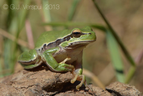 Middle Eastern Tree Frog - Hyla felixarabica
