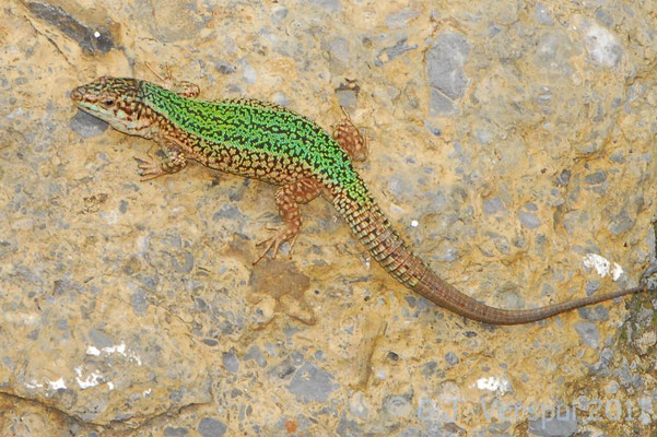 Ibiza Wall Lizard - Podarcis pityusensis    In Situ