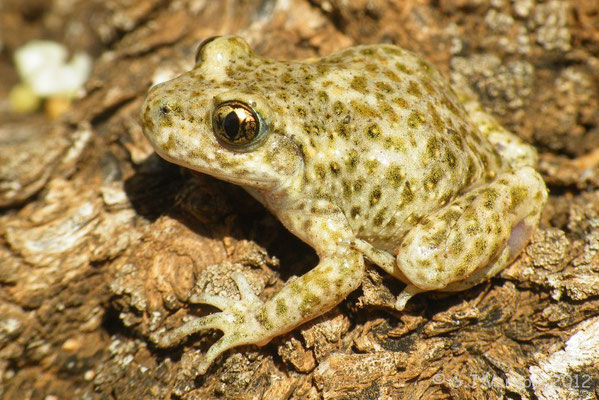 Common Midwife Toad - Alytes obstetricans pertinax