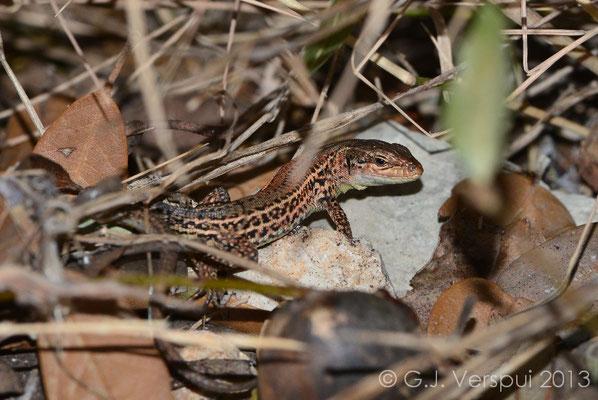 Dalmatian Wall Lizard - Podarcis melisellensis