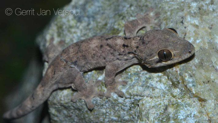 Thecadactylus oskrobapreinorum