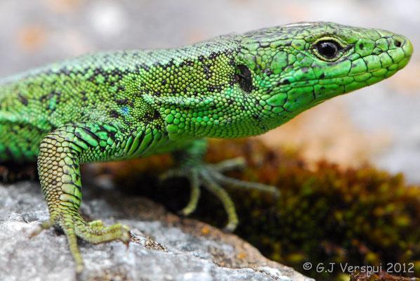 Iberian Rock Lizard - Iberolacerta monticola cantabrica