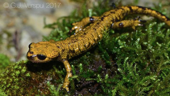 Fire Salamander - Salamandra salamandra bernardezi