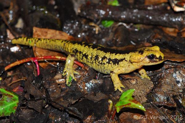 Fire Salamander - Salamandra salamandra bernardezi    In Situ