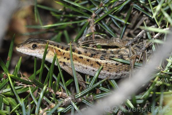 Snake-eyed Lacertid - Ophisops elegans (female)