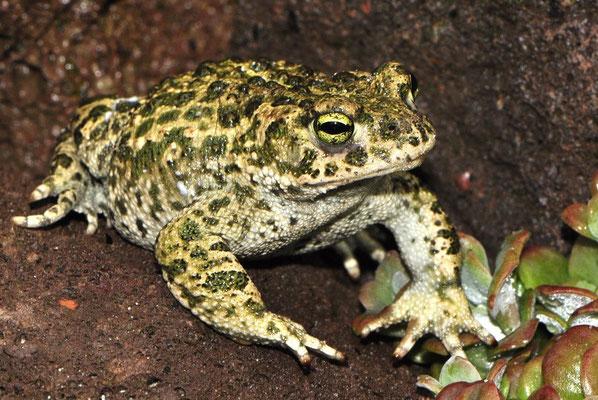 Natterjack Toad - Bufo calamita