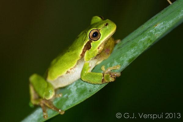Italian Tree Frog - Hyla intermedia   In Situ
