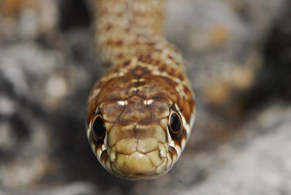 Balkan Whip Snake - Hierophis gemonensis