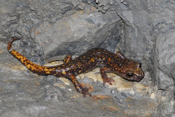 The first Strinati's Cave Salamander - Speleomantes strinatii    In Situ