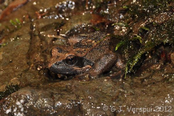Italian Stream Frog - Rana italica   In Situ