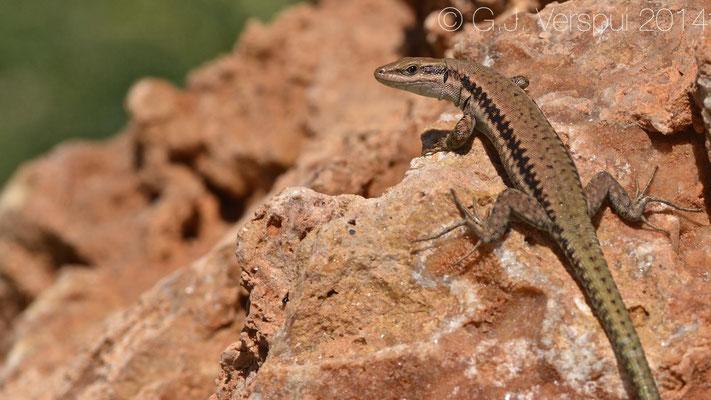 Hermon Lizard - Phoenicolacerta kulzeri, In Situ