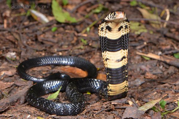 Forest Cobra - Naja melanoleuca