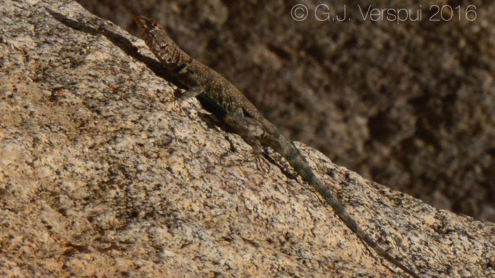 Banded Rock Lizard (Petrosaurus mearnsi)