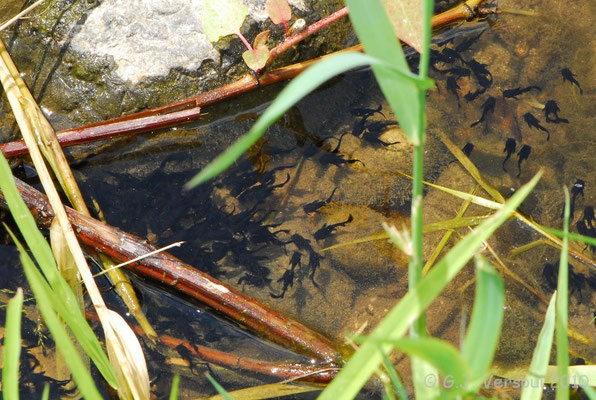 Tadpoles....... of a catfish