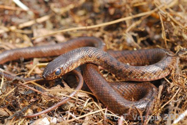 Black Whip Snake - Dolichophis jugularis  (juvenile)