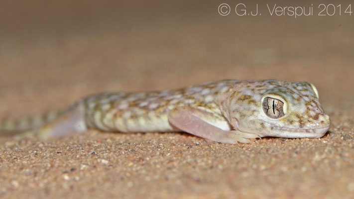 Middle Eastern Short-Fingered Gecko - Stenodactylus doriae, In Situ