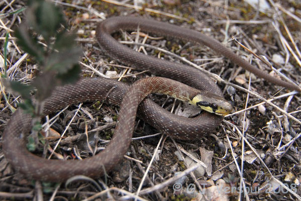 Aesculapian Snake - Zamenis longissimus (juvenile, almost dead)
