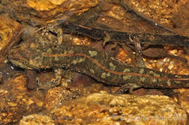 Sardinian Brook Newt - Euproctus platycephalus    In Situ