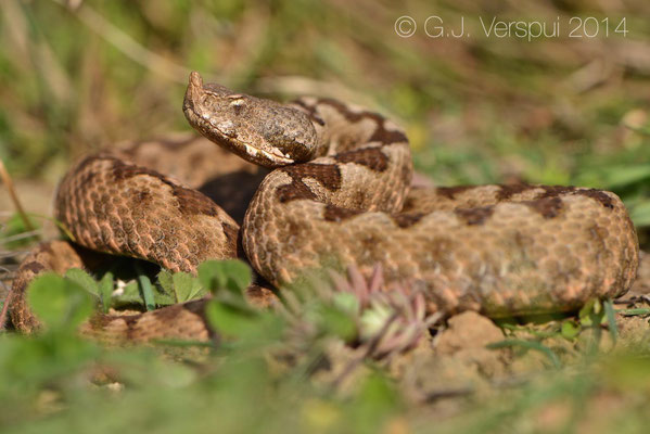 Nose-horned Viper - Vipera ammodytes montandoni