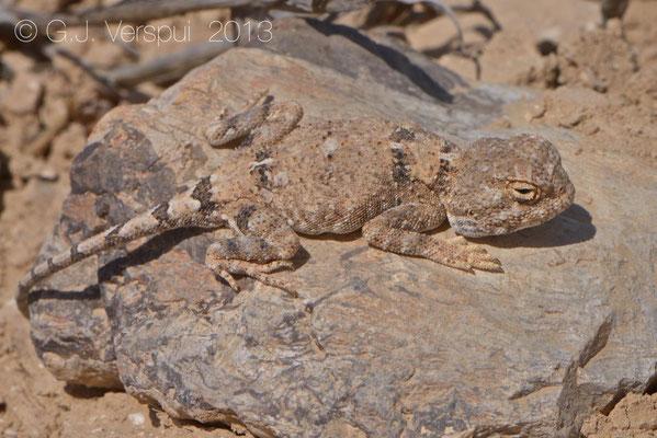 Desert Agama - Trapelus pallidus