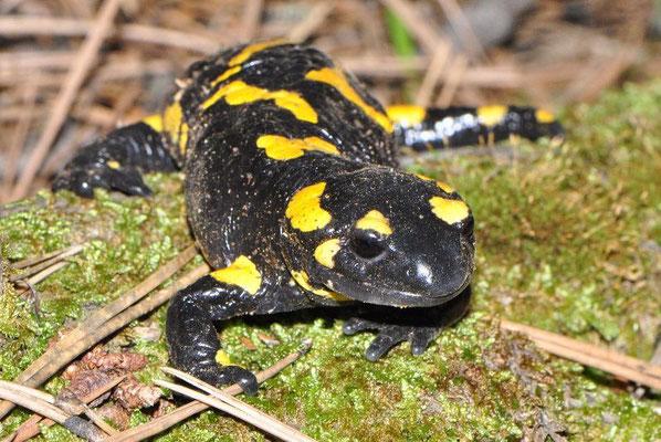 Fire Salamander - Salamandra salamandra werneri