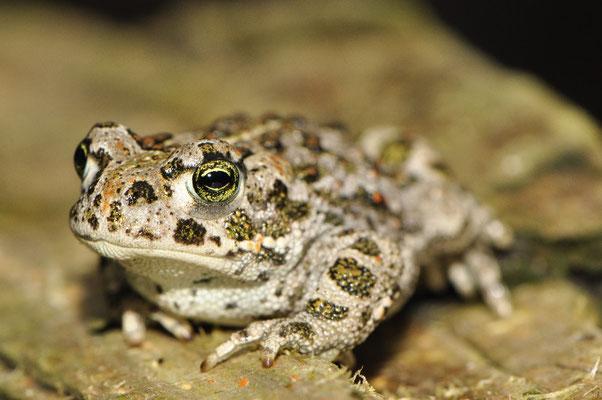 Juvenile Natterjack Toad - Bufo calamita
