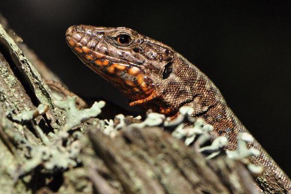 Common Wall Lizard - Podarcis muralis