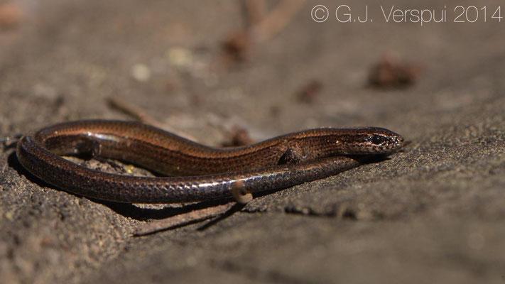 Snake-eyed Skink - Ablepharus rueppelii