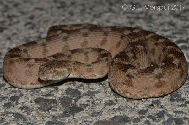 Large 90 cm Palestine Saw-scaled Viper - Echis coloratus