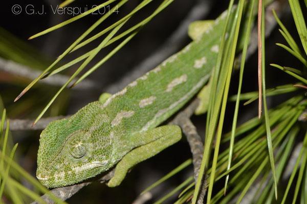 Mediterranean Chameleon - Chamaeleo chamaeleon