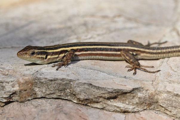Peloponnese Wall Lizard - Podarcis peloponnesiacus (Female)   In Situ