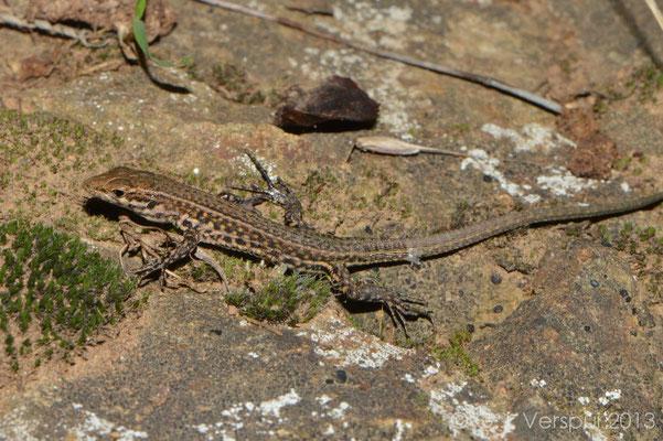 Tyrrhenian Wall Lizard - Podarcis tiliguerta