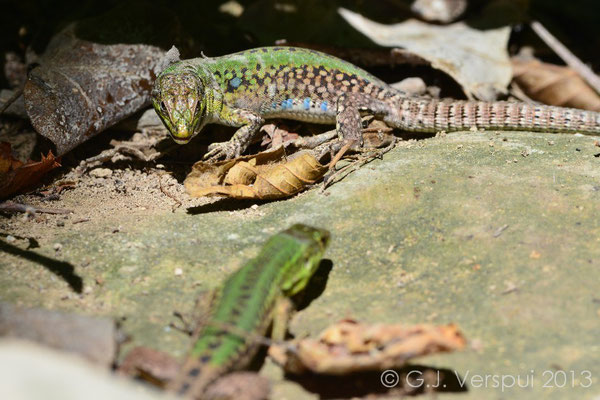 Italian Wall Lizard fight 2