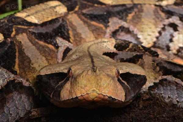 Uganda, april/may 2018 - G J  Verspui - Amphibian & Reptile