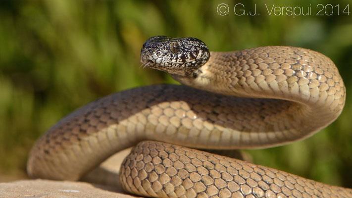 Desert Tiger Snake - Telescopus hoogstraali
