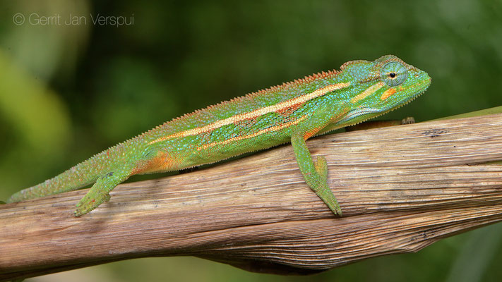 Montane Side-striped Chameleon - Trioceros ellioti