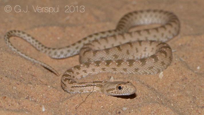 Diadem Snake - Spalerosophis diadema