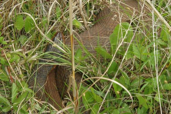 Redbelly Watersnake - Nerodia erythrogaster    In Situ