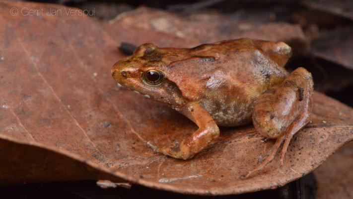 Grauer's Puddle Frog - Phrynobatrachus graueri
