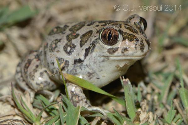 Eastern Spadefoot Toad - Pelobates syriacus, In Situ