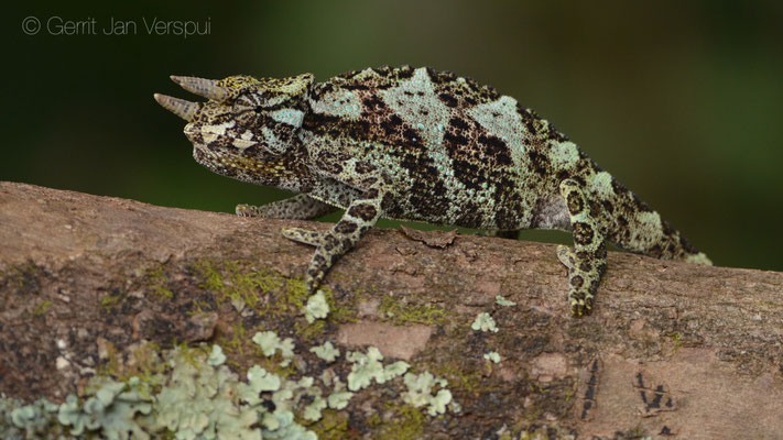 Young male Rwenzori Three-horned Chameleon - Trioceros johnstoni