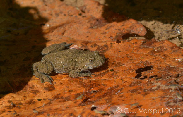 Yellow-Bellied Toads were in the little stream in Biogradska Gora National Park.   In Situ