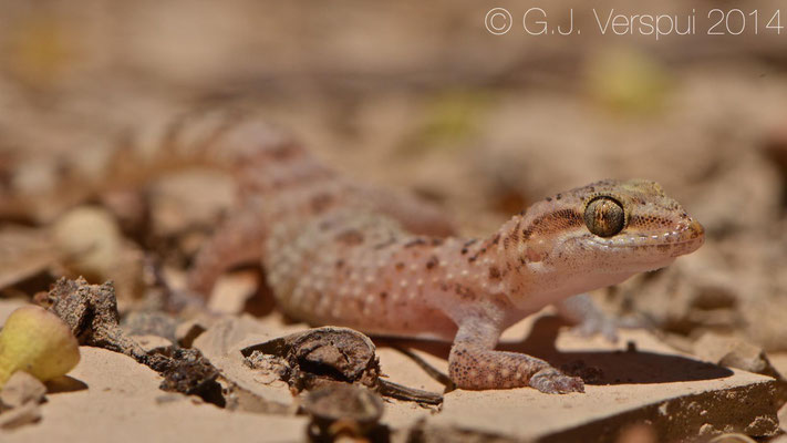 Turkish Gecko - Hemidactylus turcicus